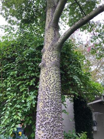South American bombacaea tree