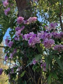 bougainnvilla flowers