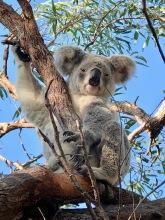Koala eyes open