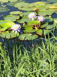 Ross river water lilies