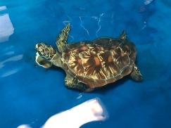 turtle hospital turtle 1