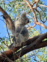 Wild Koala turning head to see a little girl